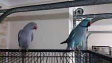 Bonded pair of indian ringnecks - hand raised Scarborough Redcliffe Area Preview
