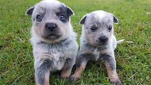 Blue cattle dog pups for sale East Kurrajong Hawkesbury Area Preview