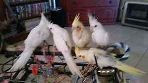 Handraised white and yellow weiros Rockingham Rockingham Area Preview
