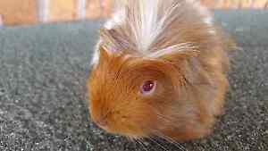 Baby girl long haired muliti coloured guinea pig Mermaid Waters Gold Coast City Preview