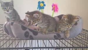 Giveaway Kittens, part Bengal.