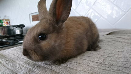 Mini lop cross rabbits