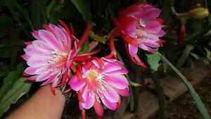 5 X epiphyllum mature plants Hebersham Blacktown Area Preview