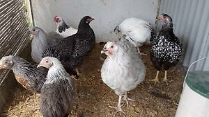 Pure Breed chickens - young hens Nerang Gold Coast West Preview