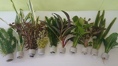 10 Bund XXL Kombi, Bundpflanzen Aquarienpflanze Wasserpflanzen (1,79€/Stk) (Fisch-aquarium Pflanzen)