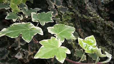 (English Ivy Variegated – Hedera helix Variegata – 5 cuttings)