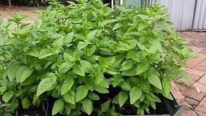 Organic Basil plants for sale Burwood Burwood Area Preview