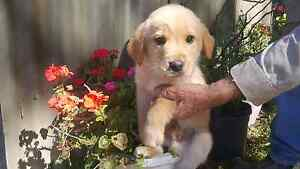 Labrador x pups for sale Two Wells Mallala Area Preview