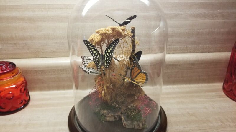 Vintage Large Real Mounted Taxidermy Butterflies Dried Flowers Under Glass Dome