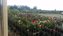 STANDARD ROSES 3 FOOT AT WHOLESALE PRICES Skye Frankston Area Preview
