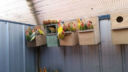Lovebirds for sale  young breeding pair and breeding pair Lalor Whittlesea Area Preview