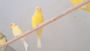 Border canaries and various finches Oakville Hawkesbury Area Preview