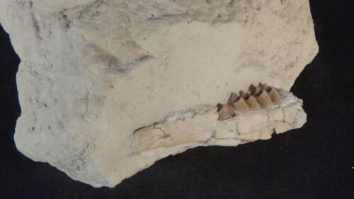 Oligocene White River fossil Deer jaw Leptomeryx evansi Wyoming