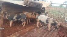 PIGLETS FOR SALE Toodyay Toodyay Area Preview