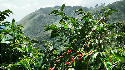 Coffee Bean Plant Seeds - JAMAICA Unhappy MOUNTAIN - Rare Coffee Bean - 1 Pound
