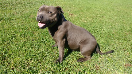 English Staffordshire -Blue Staffy Pups Pure Bred