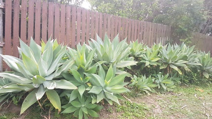 Agave Attenuata Succulent Plants ALL SIZES