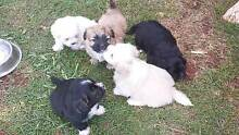 Maltese/ ShihTzu Toowoomba 4350 Toowoomba City Preview
