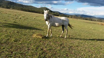 Grey tb mare