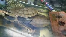Two long neck turtles to good home prefferably a pond Blair Athol Port Adelaide Area Preview
