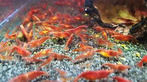 20 x Red Cherry Shrimp