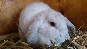 Dwarf Lop Girl Victor Harbor Victor Harbor Area Preview