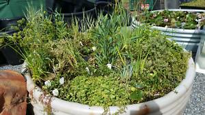 POND & WATER GARDEN PLANTS Para Hills West Salisbury Area Preview