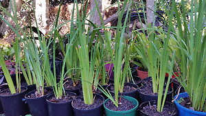 Leriope, butterfly dietes, bi-colour dietes Preston Toowoomba Surrounds Preview