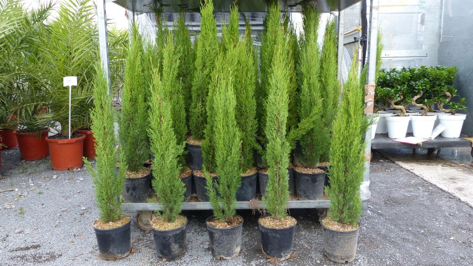 Mittelmeerzypresse Cupressus Sempervirens Totem 80 - 100 cm Toskana Zypresse