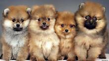 Wanted!! A Female Pomeranian Puppy Kapunda Gawler Area Preview