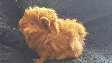 Guinea Pig Baby for sale