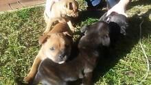 Purebred English Staffy Pups - POA Carmel Kalamunda Area Preview