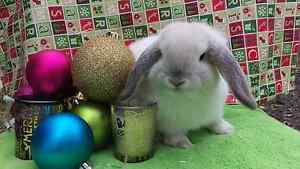 ❤QUALIITY PUREBREED MINI LOPS VACCINATED HUTCH PACKAGE DEALS XMAS Londonderry Penrith Area Preview