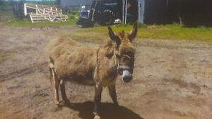 Miniature pure bread donkey for sale