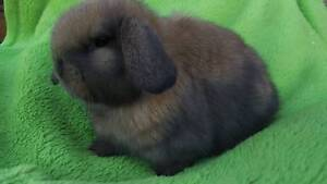 ***QUALITY VACCINATED SPECIALIZING PUREBRED MINI LOP RABBIT DEALS Londonderry Penrith Area Preview