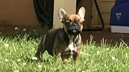 French Bulldog Puppies READY TO GO NOW