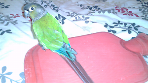 Greencheek Conure Large Cage & Budgie Coffs Harbour Coffs Harbour City Preview