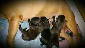Purebred Staffordshire Bull Terrier Pups - Papered Elimbah Caboolture Area Preview