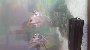 Angel fish free to good home Kwinana Town Centre Kwinana Area Preview