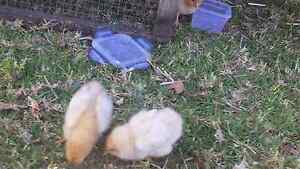 chicks for sale Woonona Wollongong Area Preview