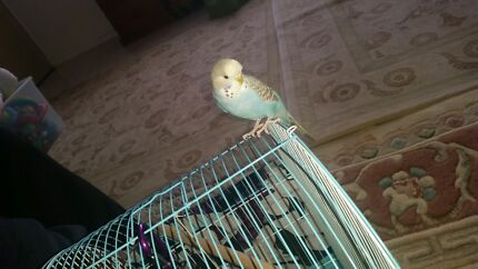 Budgies bird Wetherill Park Fairfield Area Preview
