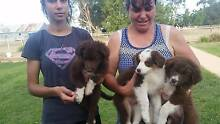 Border collie puppies Elmore Bendigo Surrounds Preview