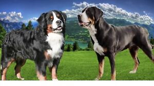Greater Swiss Mountain x Bernese Mountain Dogs Have Arrived