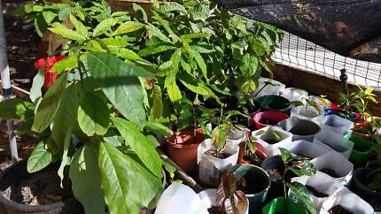 Fruits Seedling for sell