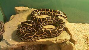 Pythons, Milk Snake, Kingsnake & Ratsnakes