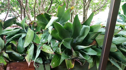 Different size agave