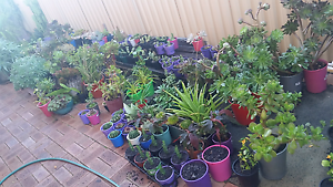 Beautiful plants variety from my garden starting from $5 Nollamara Stirling Area Preview