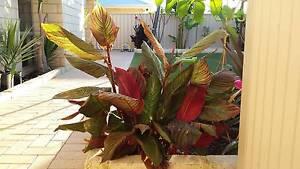Multi and black Canna's, Carnarvon Banana, Aloe, Yukka Munster Cockburn Area Preview