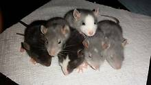 Blue Pet Rats Turramurra Ku-ring-gai Area Preview