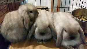 """RaRe"" pUreEbReAd BaBy miNi LoP bUNnies SoOty seAL rabbitS! Greenvale Hume Area Preview"